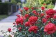 Fiecare floare in doua randuri
