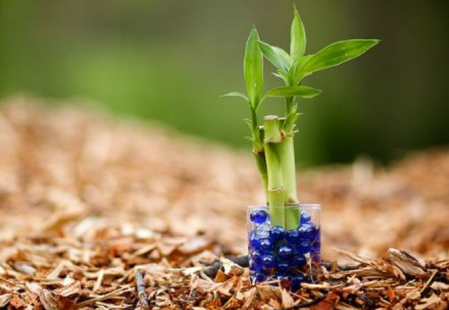 De ce este bambusul o planta pe care ti-o doresti in gradina ta?